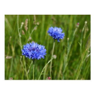 Beautiful Blue Cornflowers meadow flower design Postcard