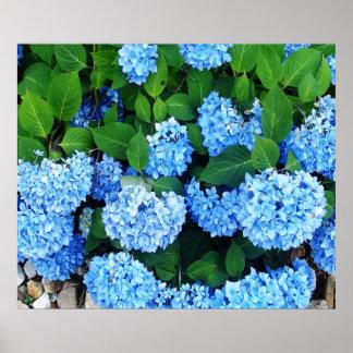 Beautiful Blue Hydrangeas Poster