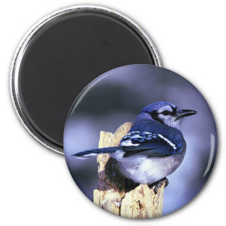 Beautiful Blue Jay bird 2 Inch Round Magnet