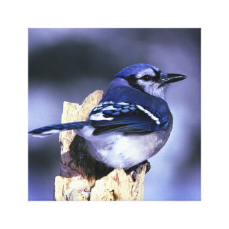 Beautiful Blue Jay bird Canvas Print