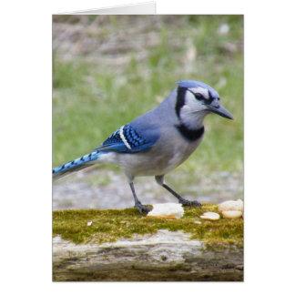Beautiful Blue Jay bird Card