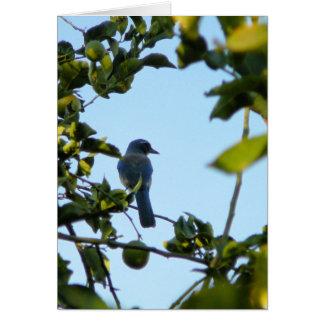 Beautiful Blue Jay Bird Cards