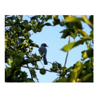 Beautiful Blue Jay Bird Postcard