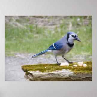 Beautiful Blue Jay bird Poster