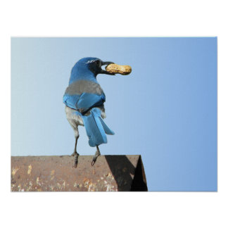 Beautiful Blue Jay Bird with Peanut Poster