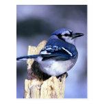 Beautiful Blue Jay Postcard