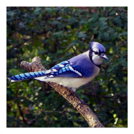 Beautiful Blue Jay Posters