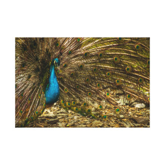 Beautiful Blue Peacock with Open Tail Feathers Canvas Print