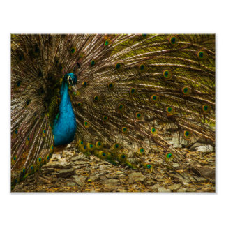 Beautiful Blue Peacock with Open Tail Feathers Poster