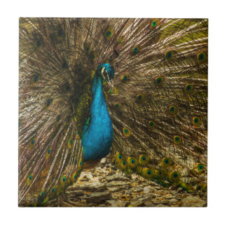 Beautiful Blue Peacock with Open Tail Feathers Tile