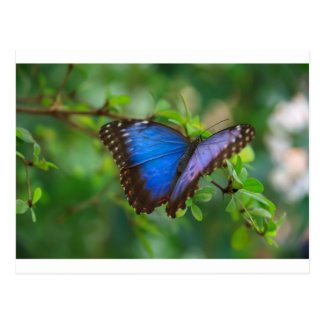 Beautiful Blue Purple and Black Butterfly Postcard