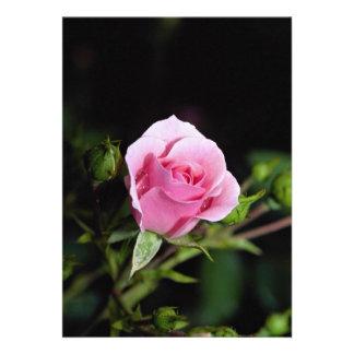 Beautiful Bonica Shrub Rose Meidomanac Personalized Invites