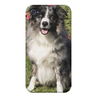 Beautiful Border Collie iPhone 4/4S Case