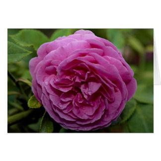 Beautiful Bourbon Rose 'Louise Odier' Greeting Card