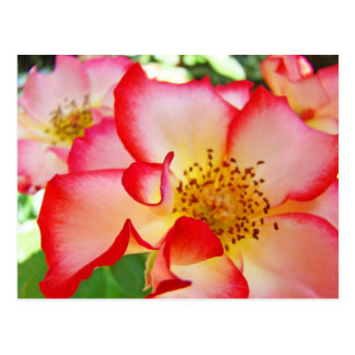 Beautiful Bright Colorful Roses Postcards Nature