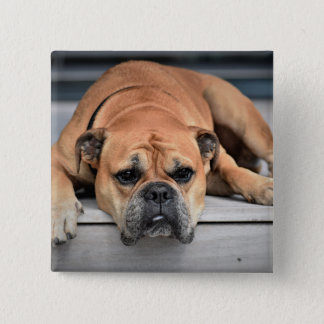 Beautiful Brown Bulldog Dog Laying on the Steps Button