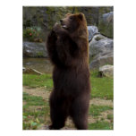 Beautiful Brown Grizzly Bear Poster
