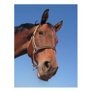 Beautiful Brown Horse Postcard