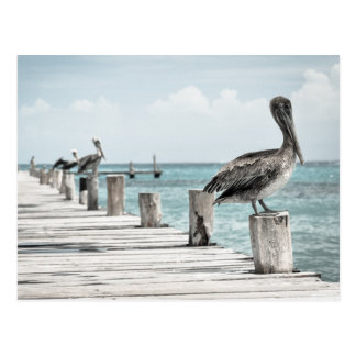 Beautiful Brown Pelicans and Blue Water Postcard