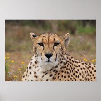 Beautiful cheetah portrait poster