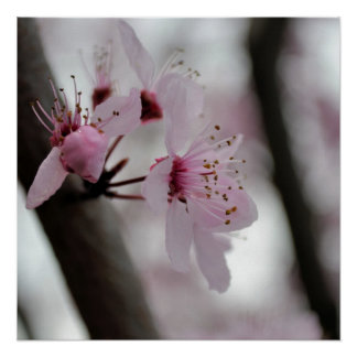 Beautiful Cherry Blossom Flowers Poster
