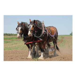 Beautiful clydesdale horses ploughing poster