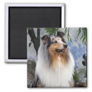 Beautiful Collie dog blue merle magnet, gift Magnet