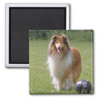 Beautiful Collie dog portrait magnet, gift idea 2 Inch Square Magnet