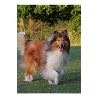 Beautiful Collie dog portrait poster, print, gift
