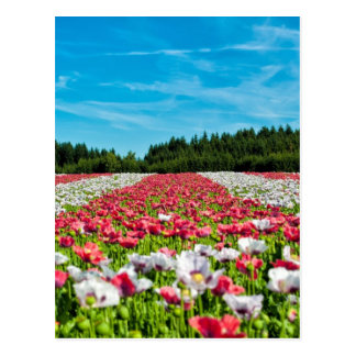 Beautiful colorful field of poppy flowers postcard
