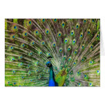 Beautiful, colorful peacock greeting cards