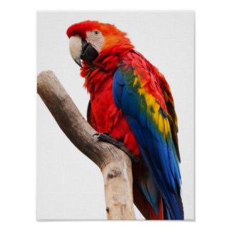 Beautiful Colorful Scarlet Macaw Parrot Bird Poster