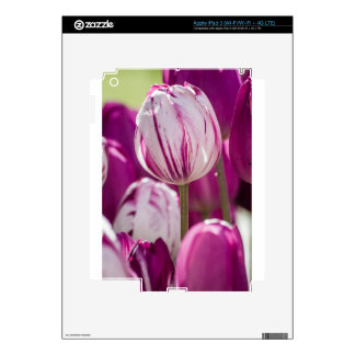 Beautiful colorful tulips at a green garden of Ist iPad 3 Decals