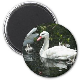 Beautiful Coscoroba Swan Family  Round Magnet