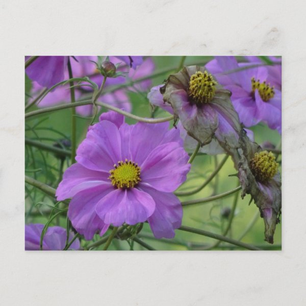 Beautiful Cosmea Flowers DIY Postcard