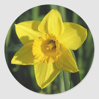 Beautiful Daffodil Classic Round Sticker