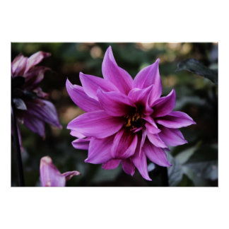 Beautiful Dahlia Flower Poster