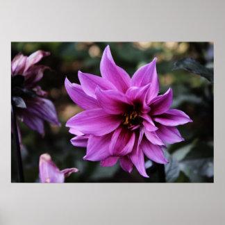 Beautiful Dahlia Flower Poster