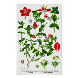 Beautiful Dainty red spring flower Poster