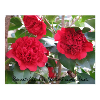 Beautiful Double Red Camellias Postcard