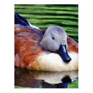 Beautiful Duck On Water Postcard
