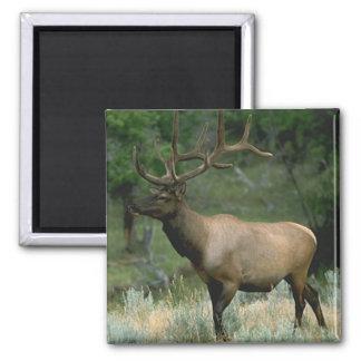 Beautiful Elk 2 Inch Square Magnet