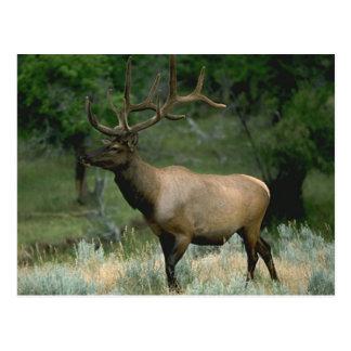 Beautiful Elk Postcard