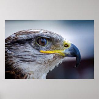 Beautiful falcon portrait poster