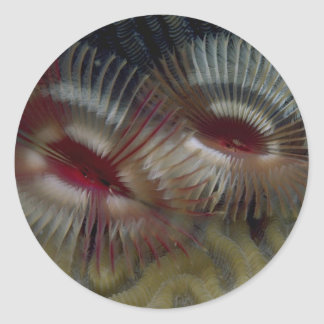 Beautiful Fan worms adorn a Caribbean coral reef Round Stickers