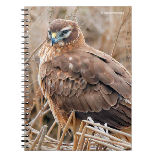 Beautiful Female Northern Harrier in the Marsh Spiral Notebook