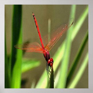 Beautiful Firecracker Dragonfly Poster