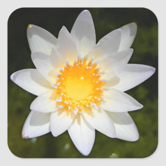 Beautiful flower white water lily square stickers