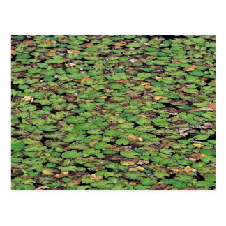 Beautiful Fringed water lily Postcard