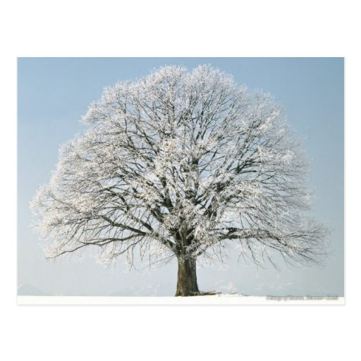 Beautiful Frosted Tree Postcard